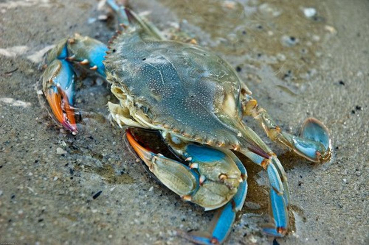 A Guide to Crabs, Crabmeat, and Crab Legs