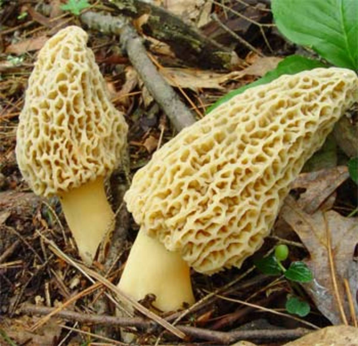 Morchella or Morel Mushrooms