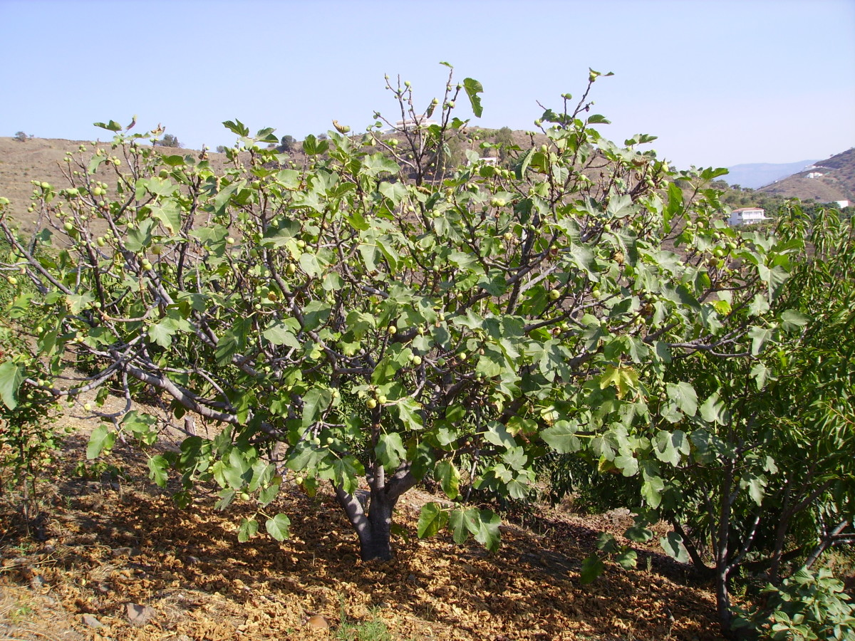 Fig Tree in Andalusia
