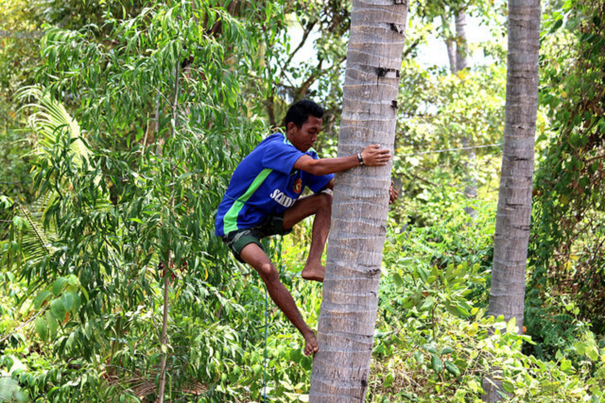 The mananguete, or tuba gatherer, must climb the coconut tree to collect the sap.