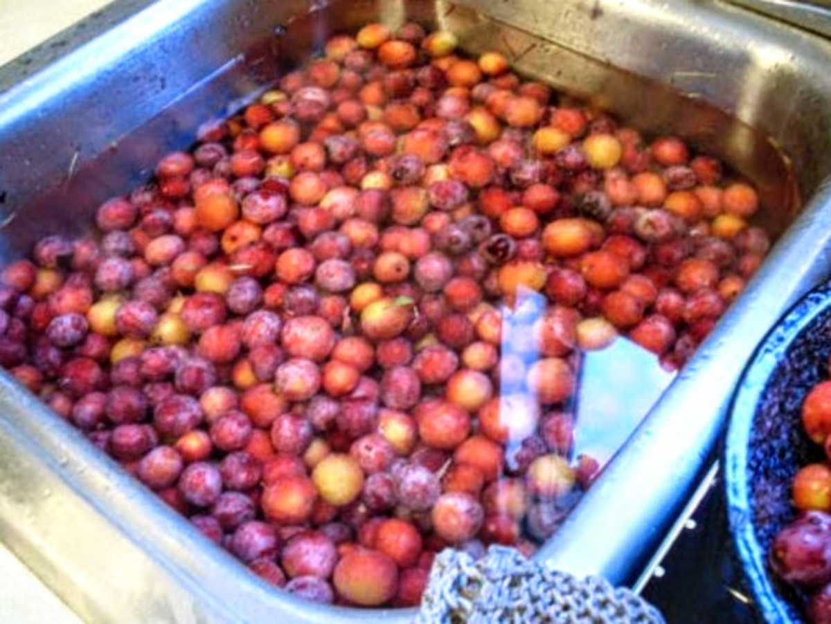 Wash plums gently in water to remove dust, sap, leaves, and other matter.