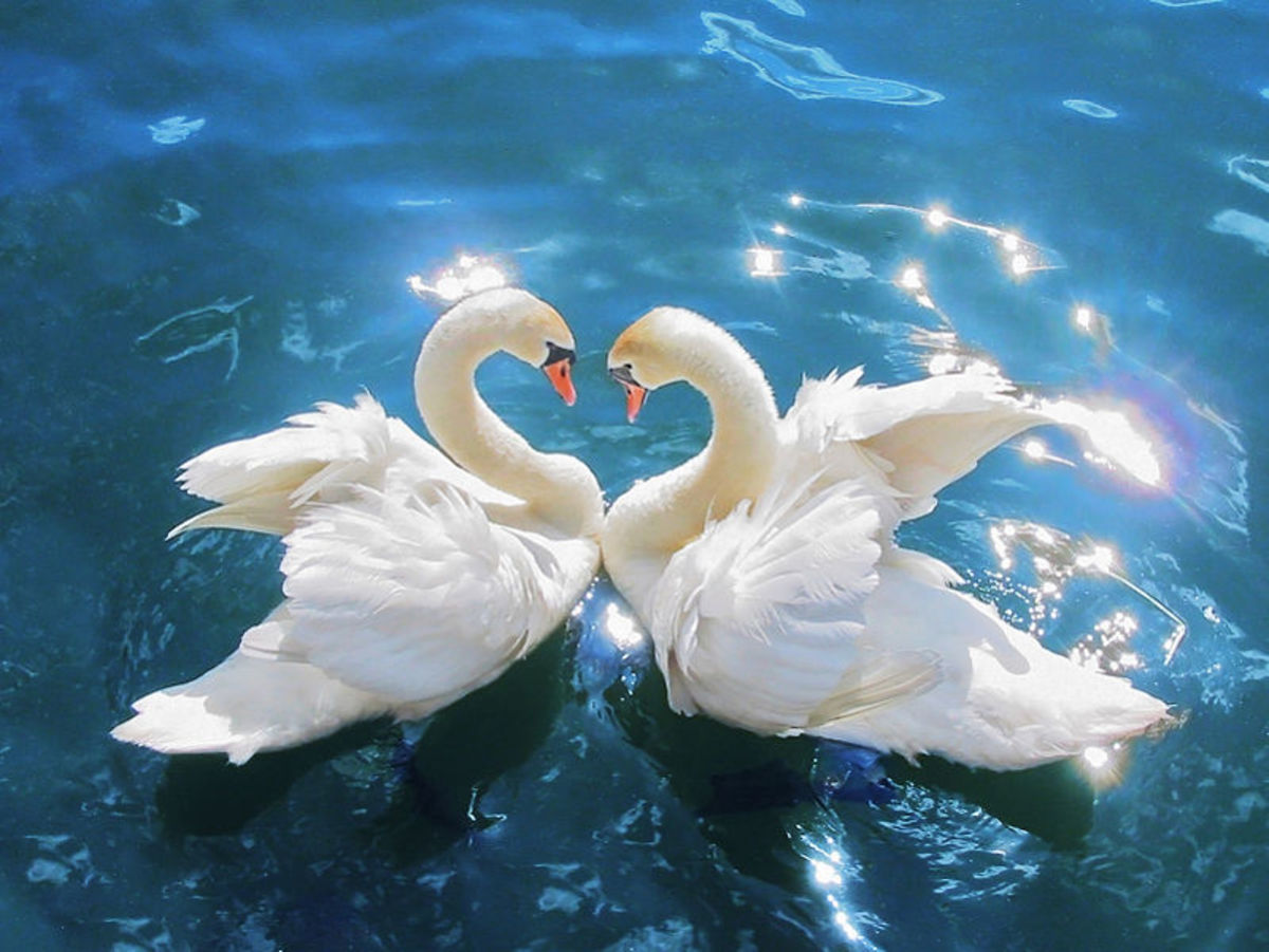 Swans in a love pose