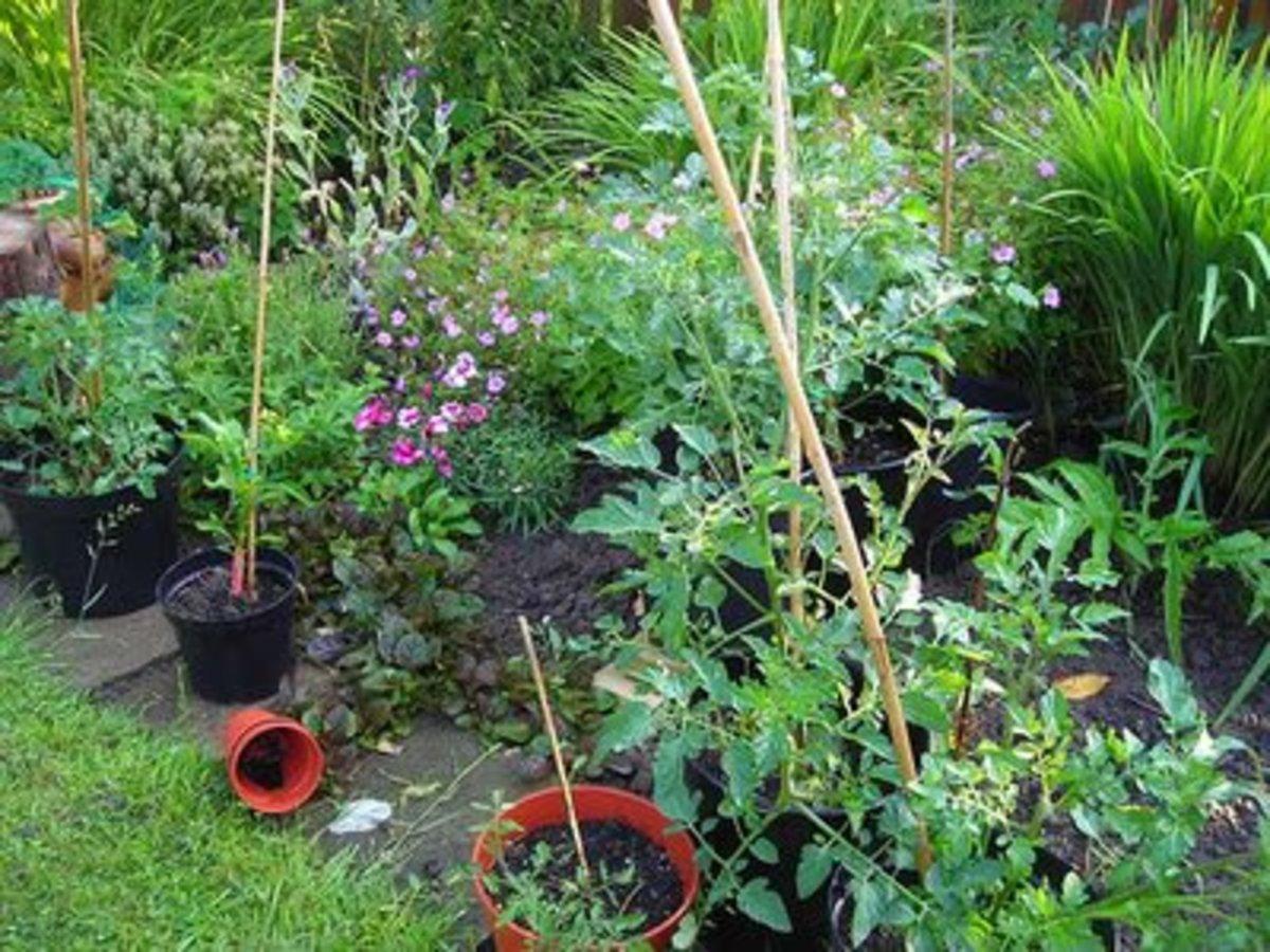 Tomato Plants In My Garden
