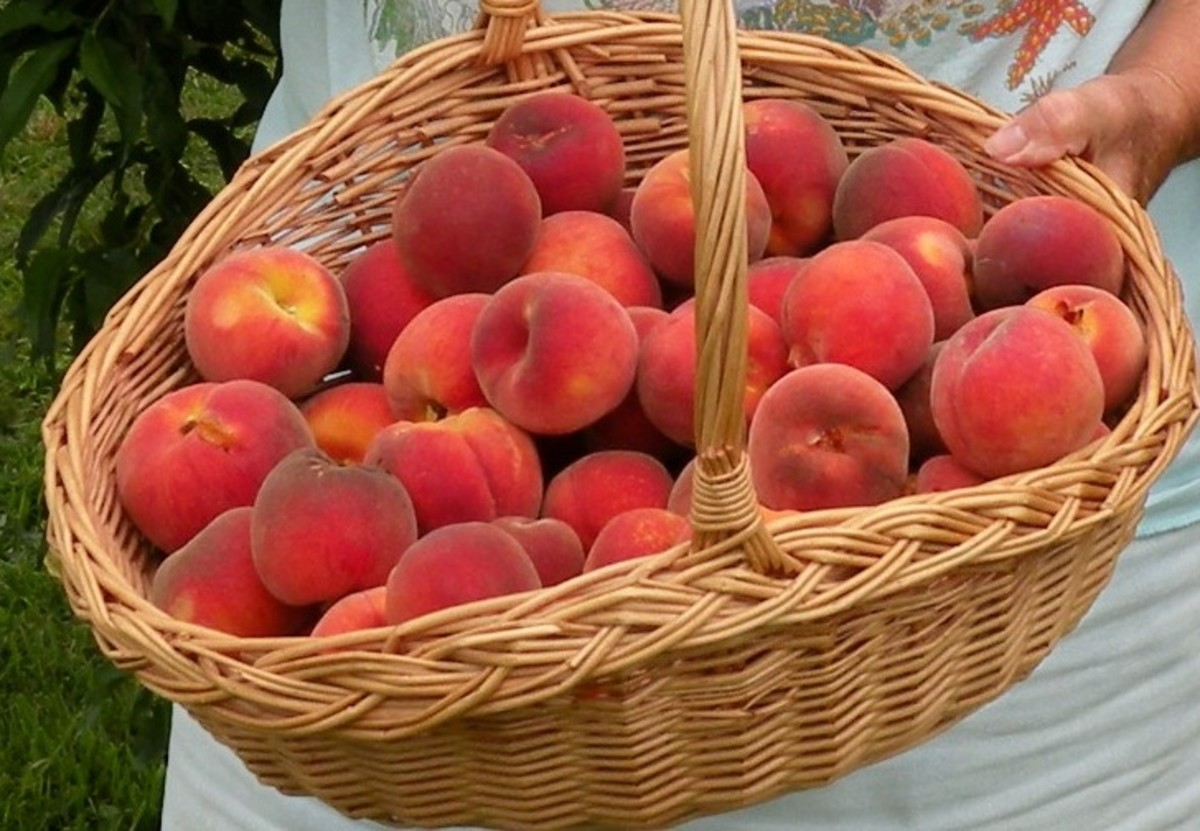 "Basket of peaches from ""The Best Homemade Peach Brandy Recipe~The Reluctant Peach Tree and A Baby Raccoon"""