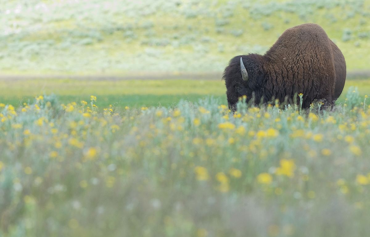 The most important food source for the Lakota was the buffalo or American bison.