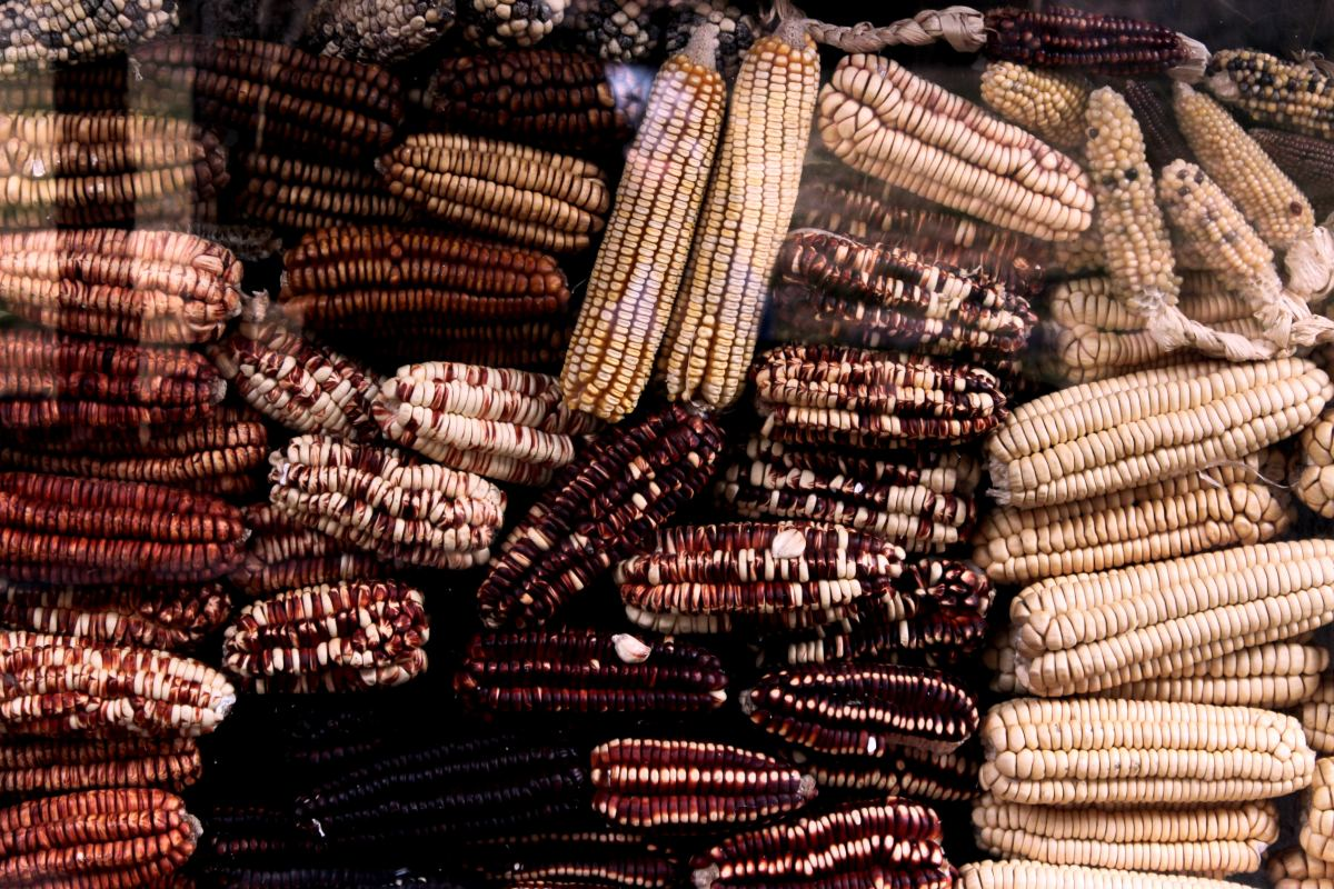 Corn removed from the cob is referred to as wagnu, and corn dried on the cob is wahunwapa.