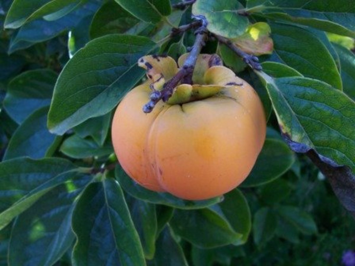 Fuyu Persimmons have a lighter color and rounder shape!