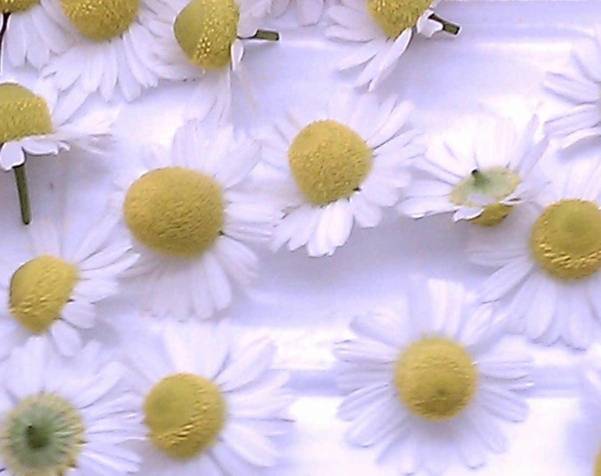 pick chamomile at the peak of bloom by pinching the stem just below the blossom with your index finger and thumbnail