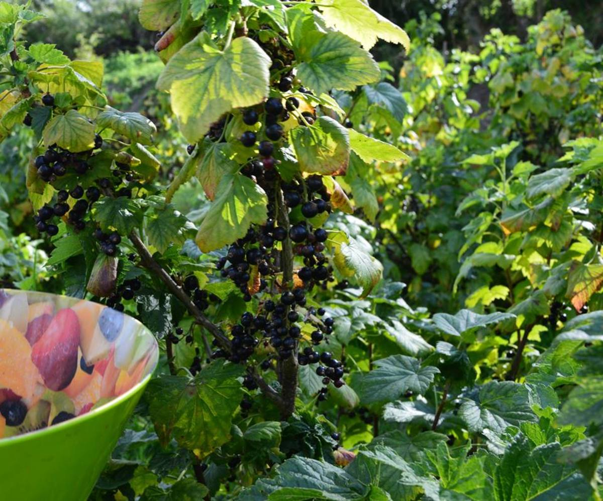 Blackcurrants on the bush, ready for picking