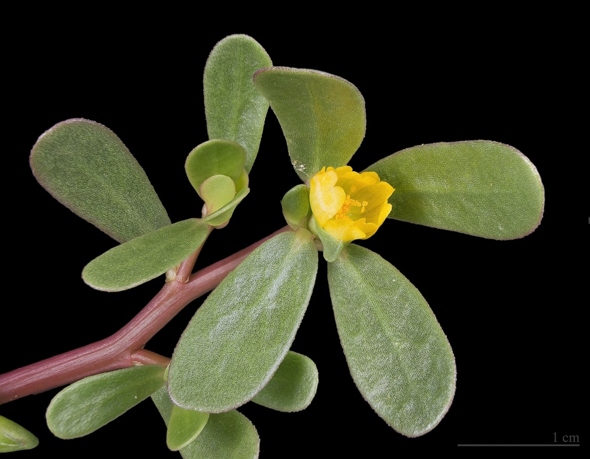 A close-up photo of purslane; the white line on the bottom right of the photo represents one cm