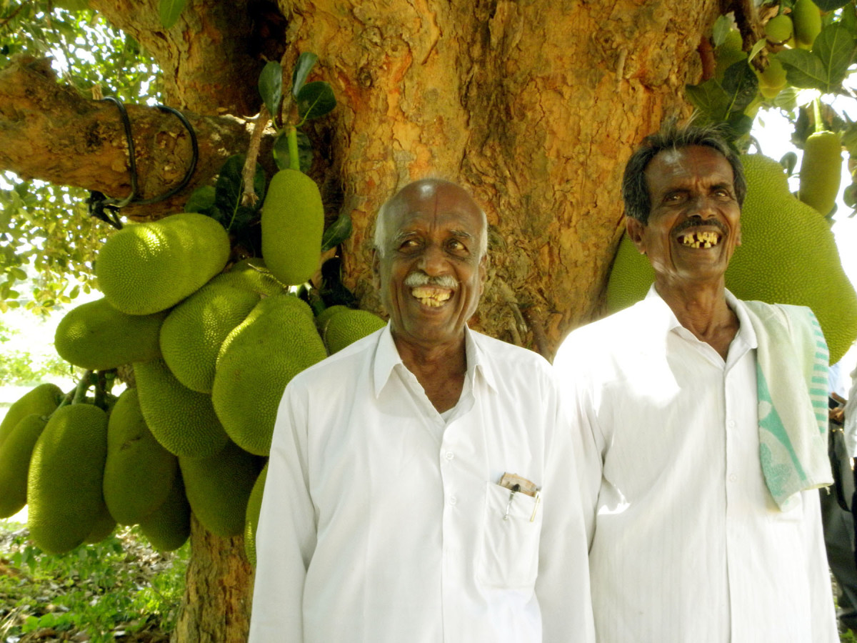 This jackfruit tree, growing in India, is very old and still productive. The farmers in front provide scale, as the jackfruit is known as the largest fruit in the world.