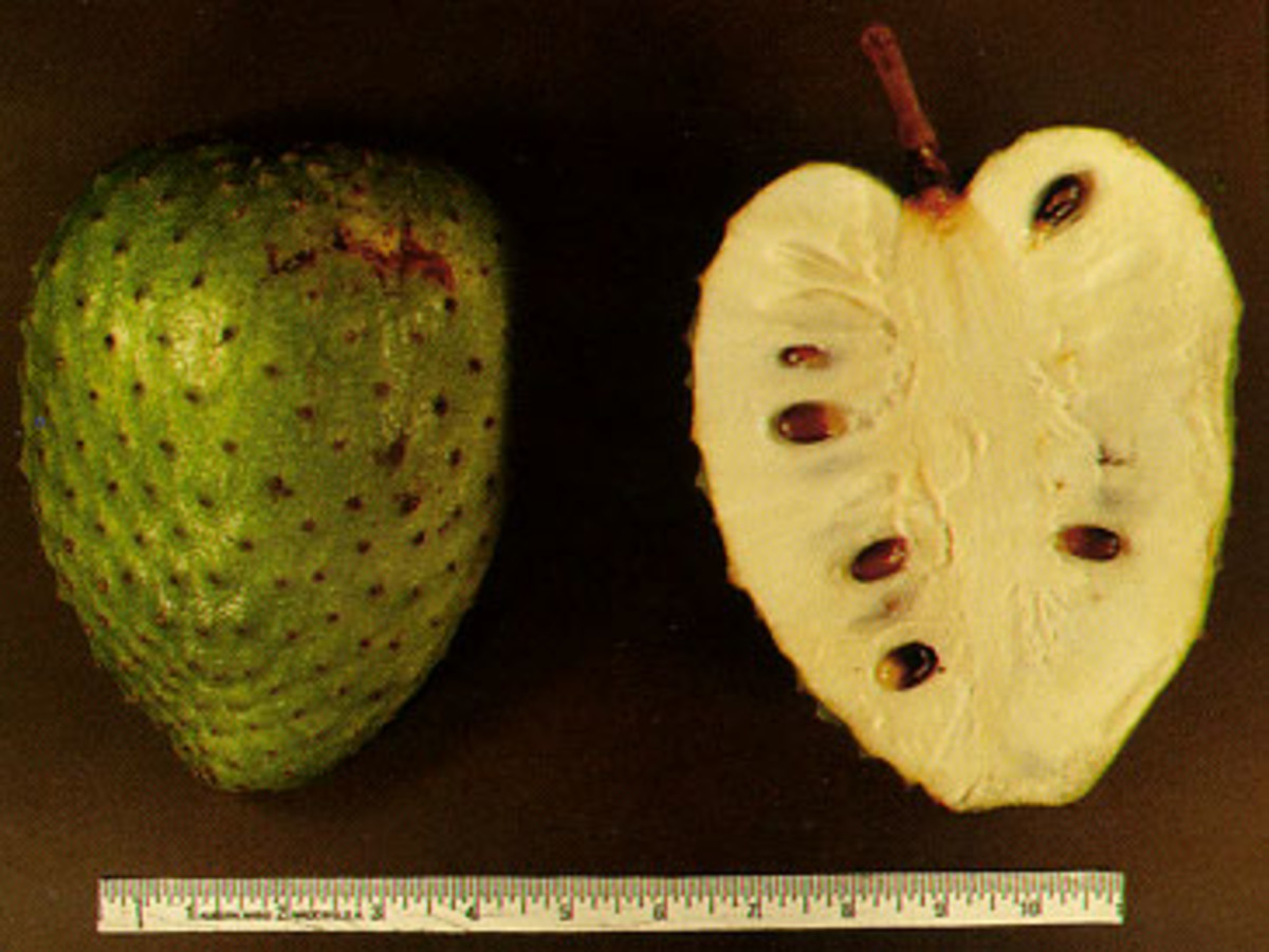 The soursop is locally called durian Belanda or durian mekah
