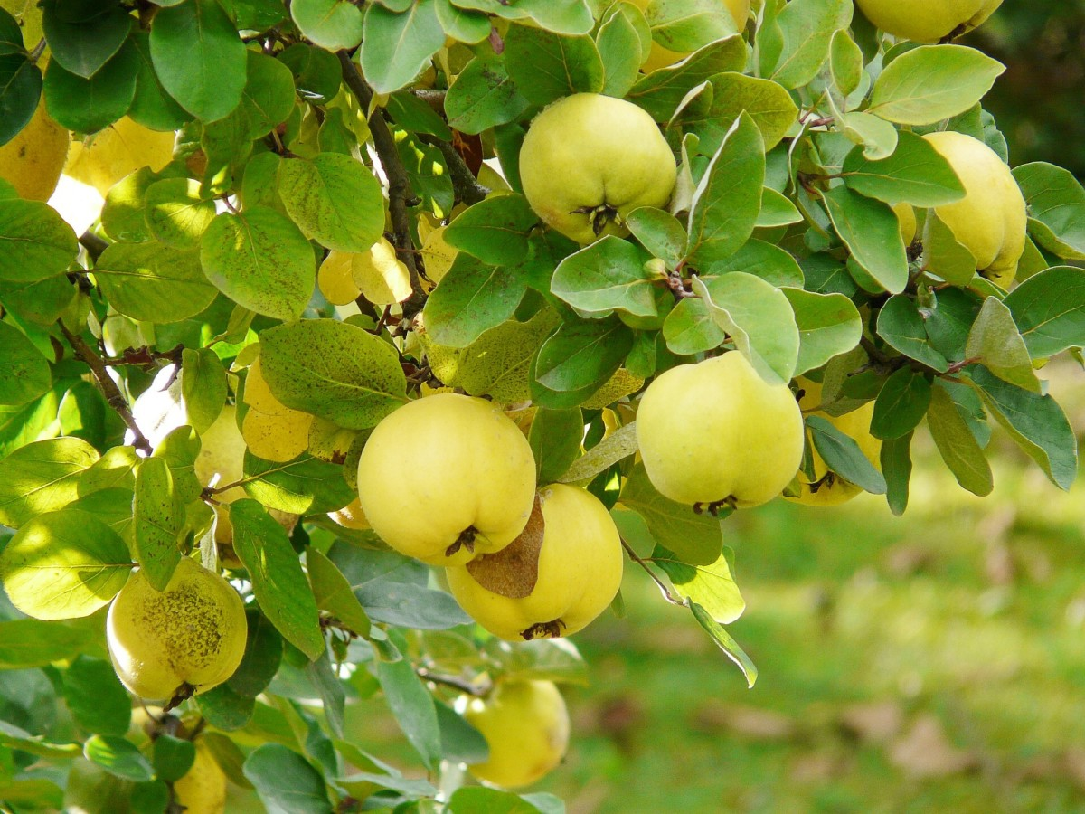 A quince tree bearing fruits