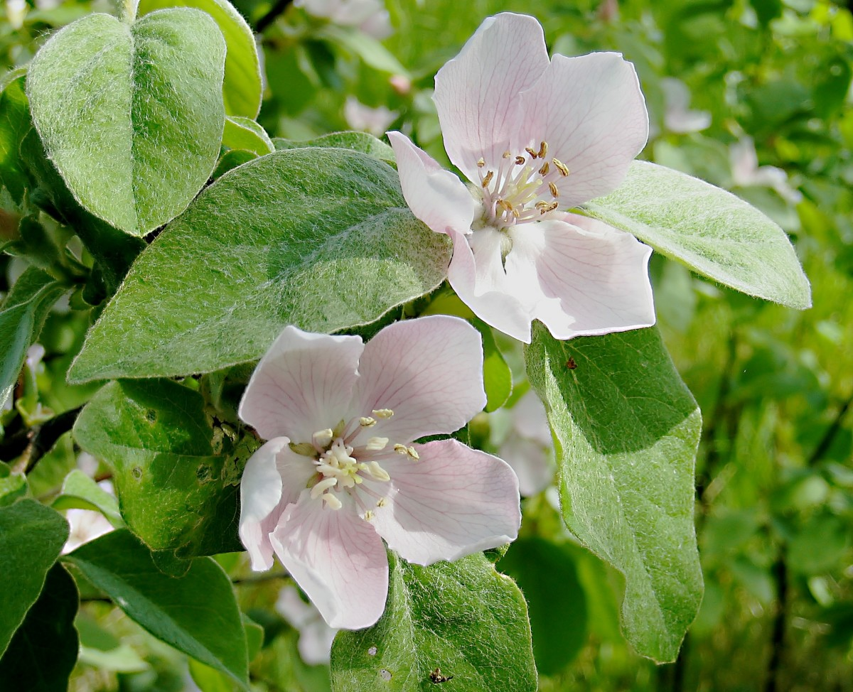 Quince flowers and leaves
