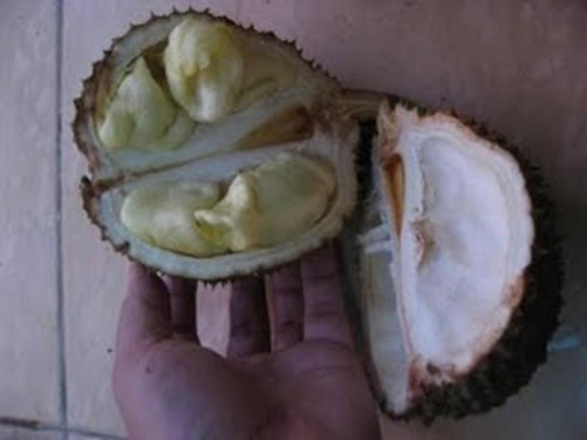 Durian Kurakura