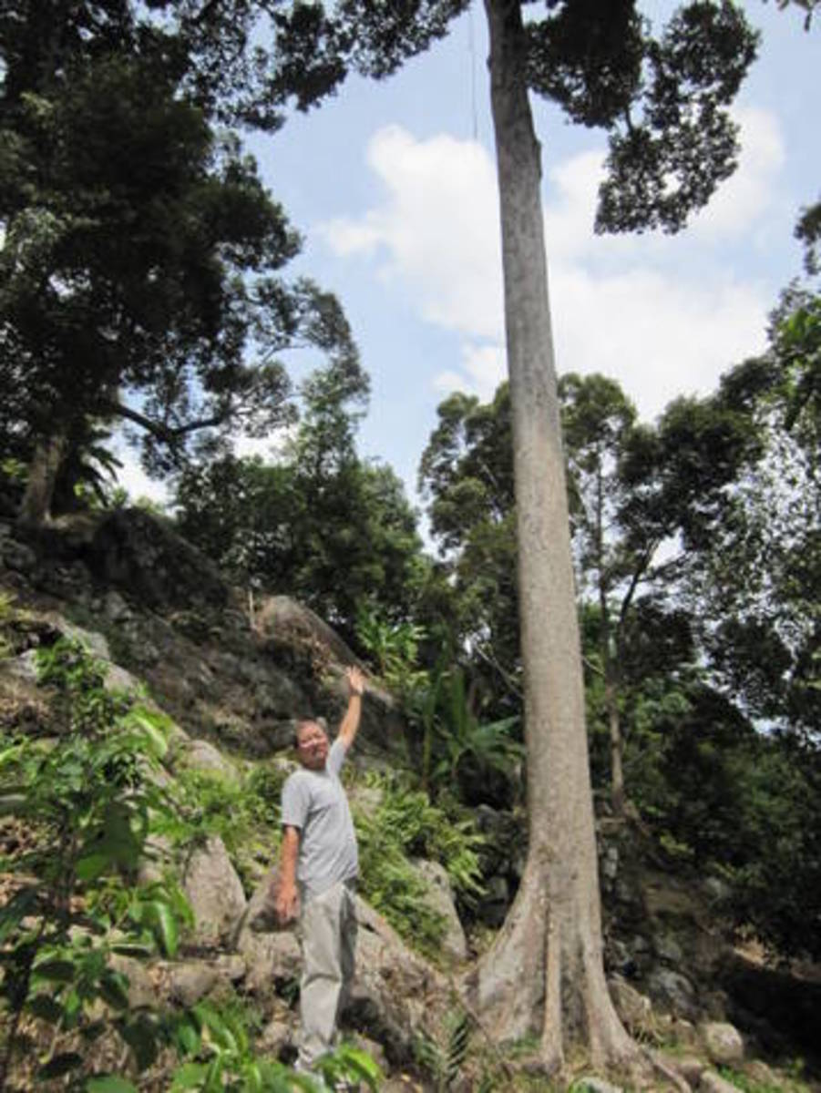 The huge hundred year-old durian tree