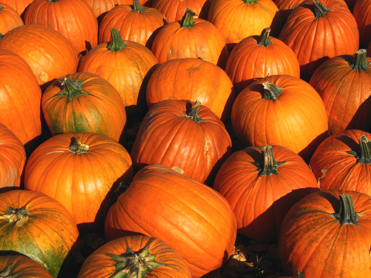 Pumpkins are nutritious as well as colorful. They are rich in beta-carotene, which our body converts into vitamin A.