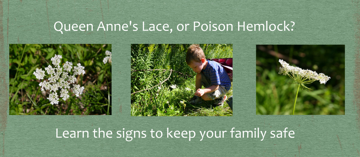 Be absolutely certain you know how to identify Queen Anne's Lace: Poison Hemlock has a similar flower!