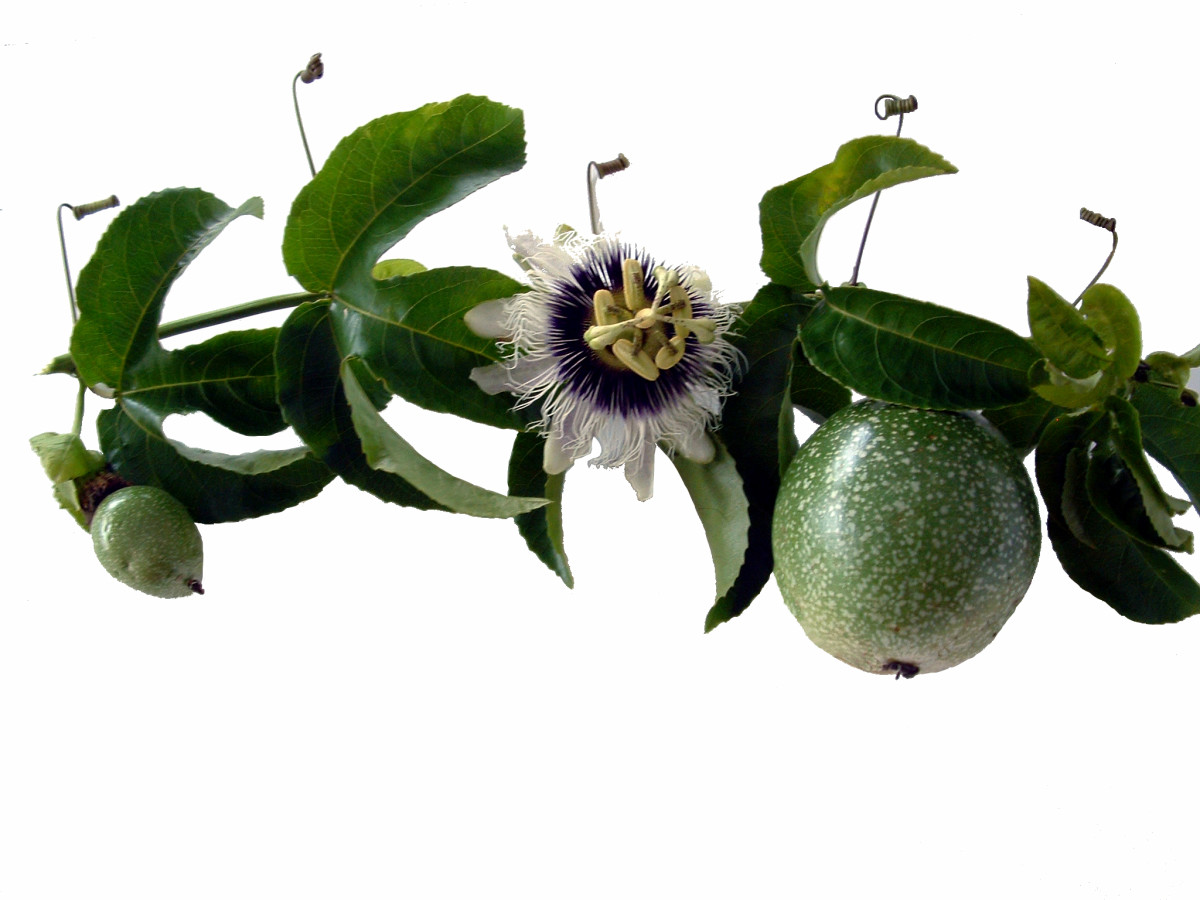 Passion fruit vine, flower and fruit
