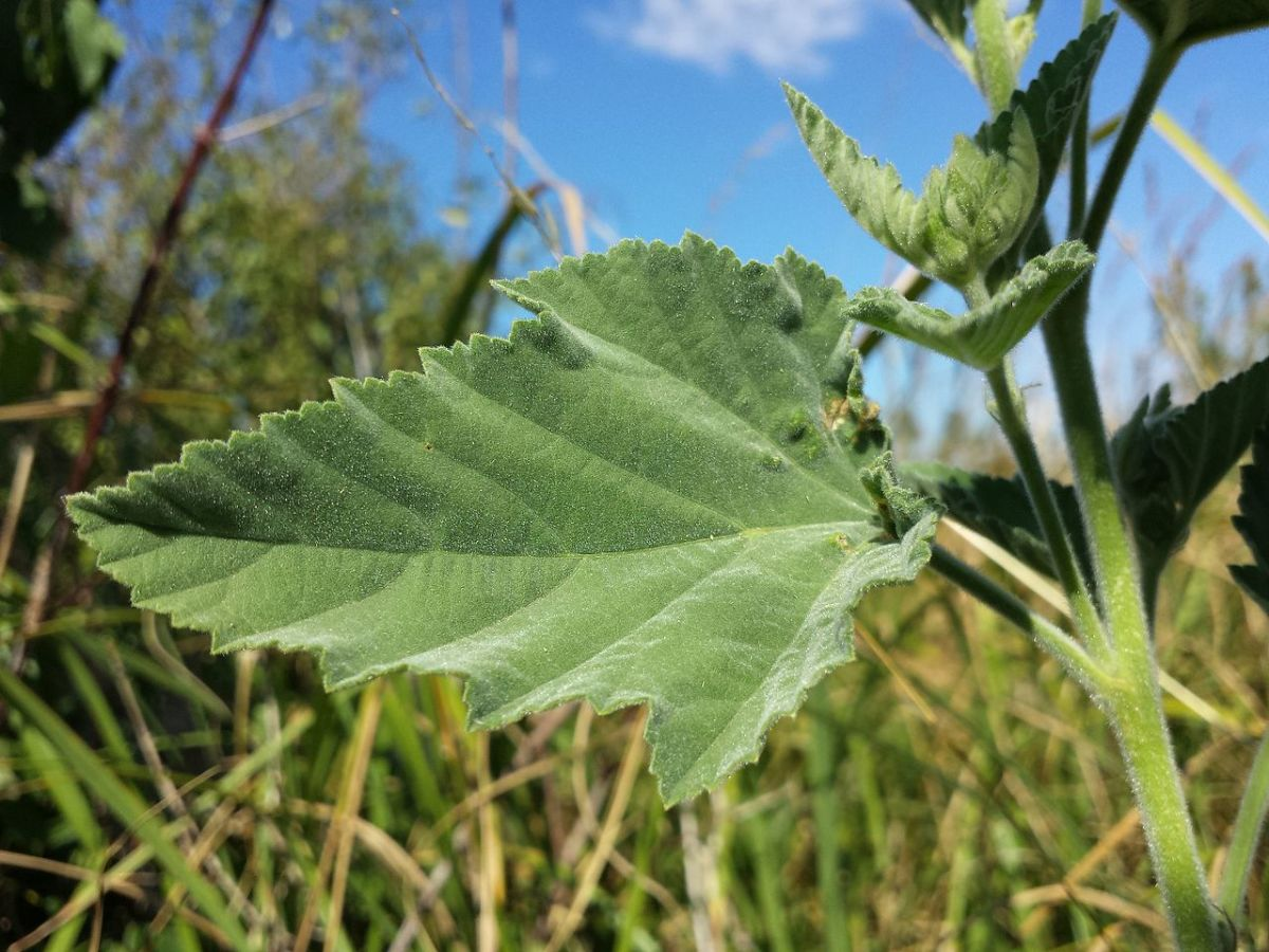 A leaf of Althaea officinalis