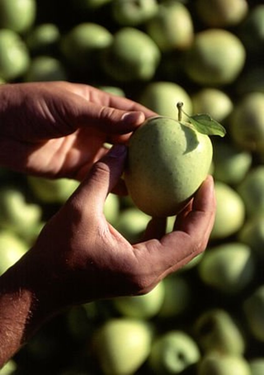 Golden Delicious - This apple isn't listed above, but is one of my favorites.