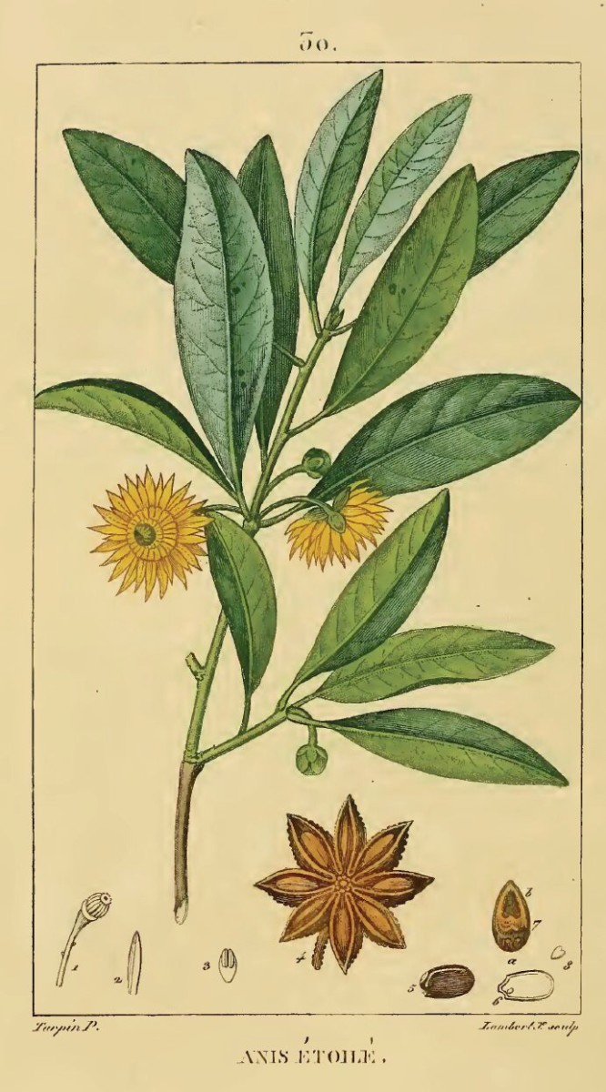 This is a scientific illustration of the Chinese star anise plant from 1833.
