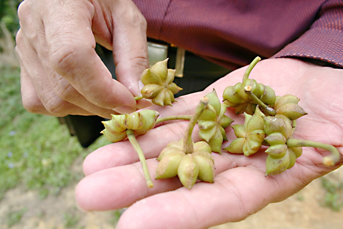 Green, unripe star anise fruits from a farm in China