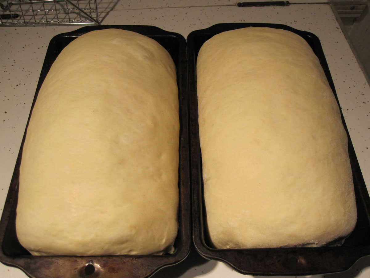 Loaves fully risen and ready for baking.