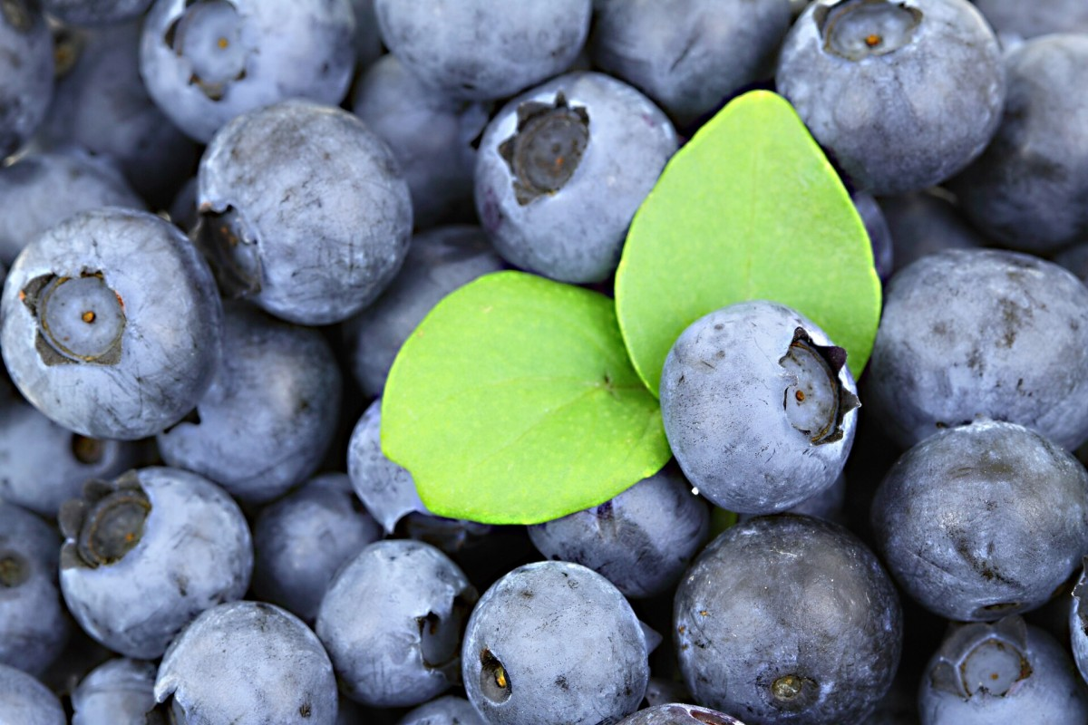 Both cultivated and wild blueberries are very nutritious.