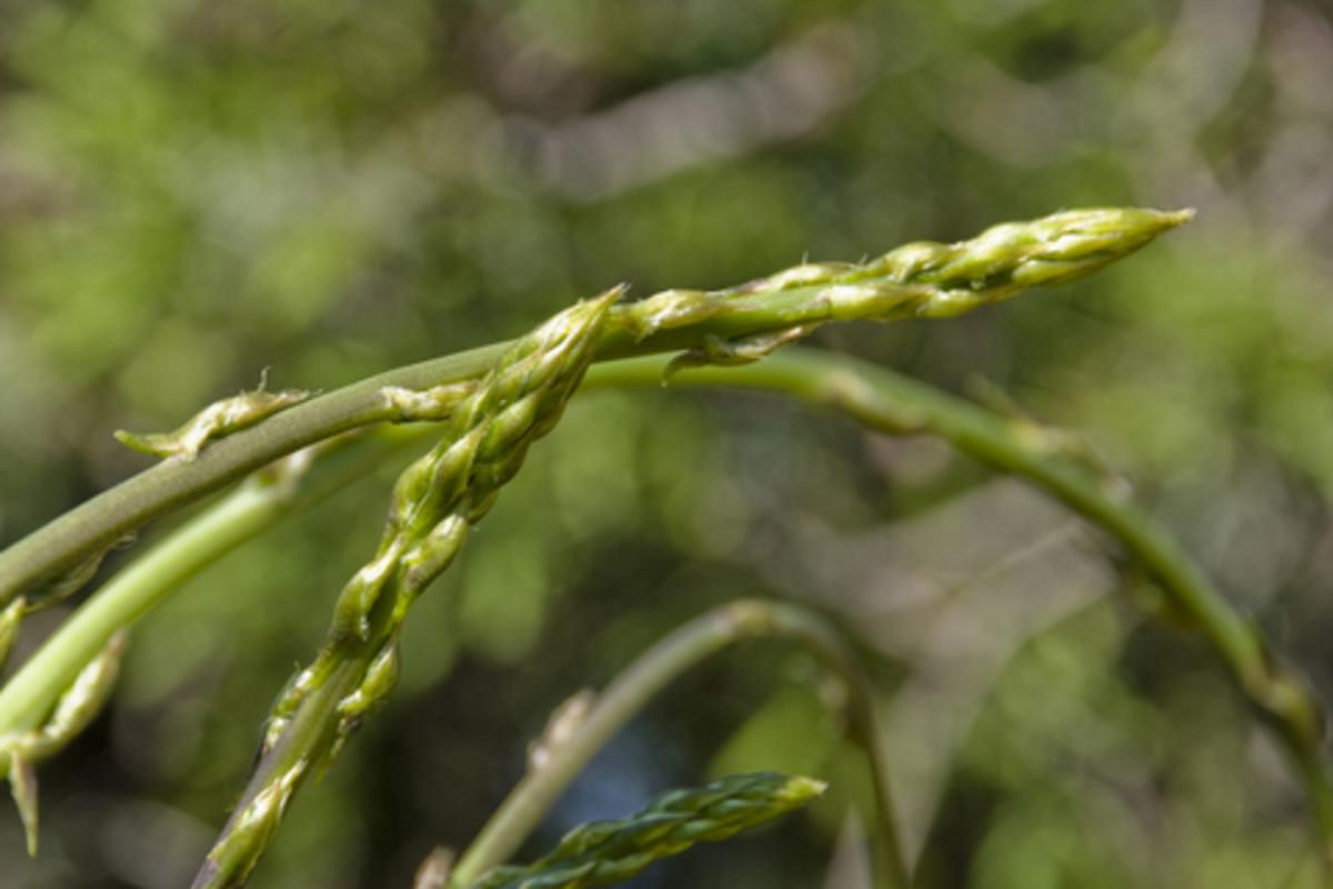 Wild Asparagus Plant Wild Asparagus