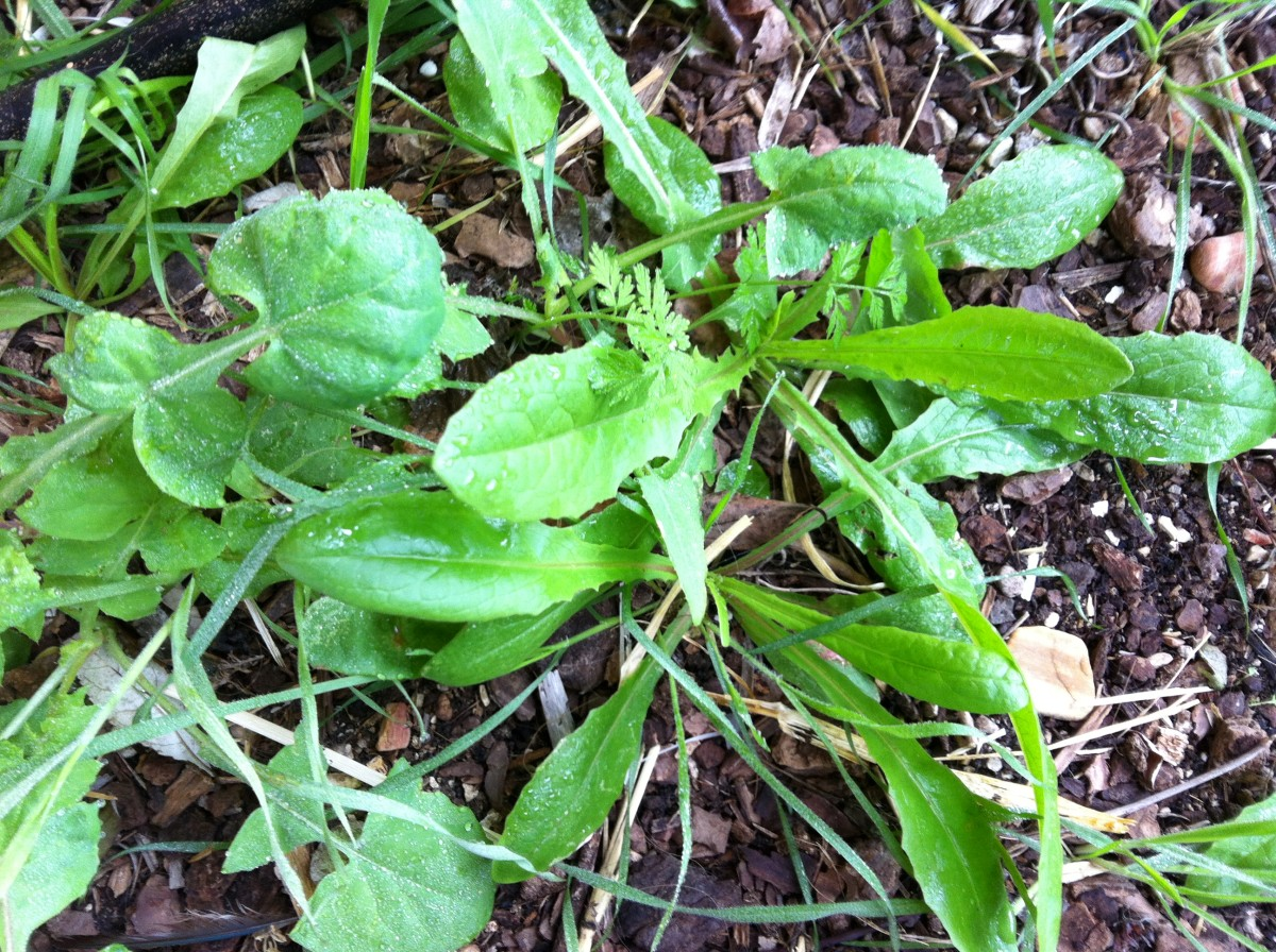 Chicory when it is tender and new