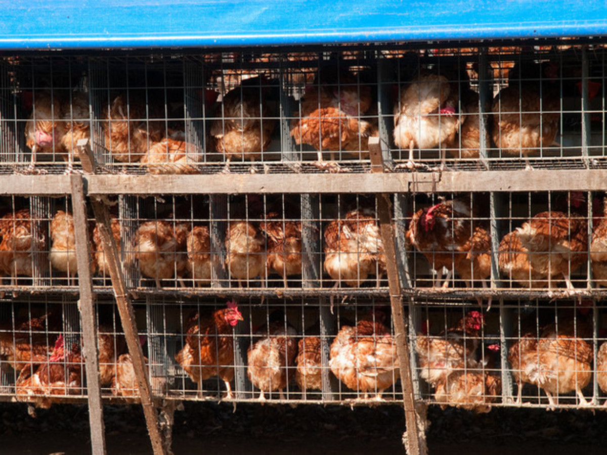 This is a common chicken farming environment!