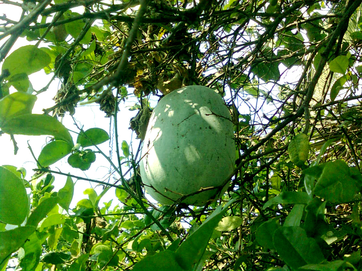 Ash gourds grow on vines.