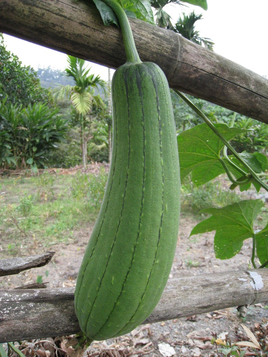 Sponge gourds, or loofahs, can only be eaten when young.