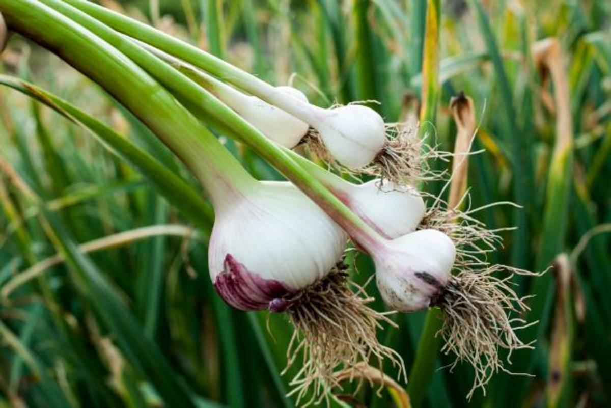 Garlic can help prevent coughs and colds.
