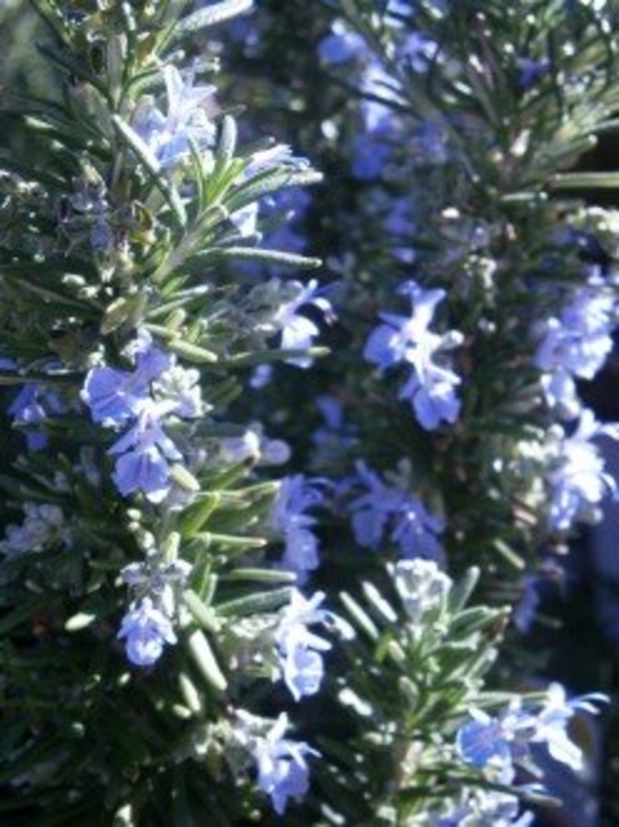 Rosemary's woody scent maybe too strong for certain dishes--use sparingly in such cases.