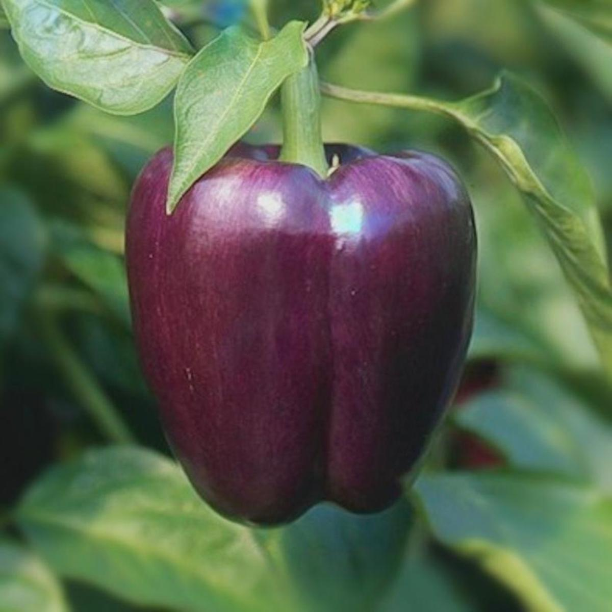A purple bell pepper is possible...