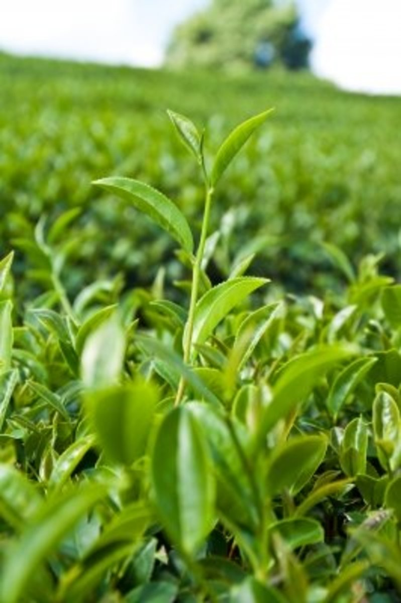 fluoride-content-in-black-tea-white-tea-and-green-tea-tea-health-benefits-and-dangers