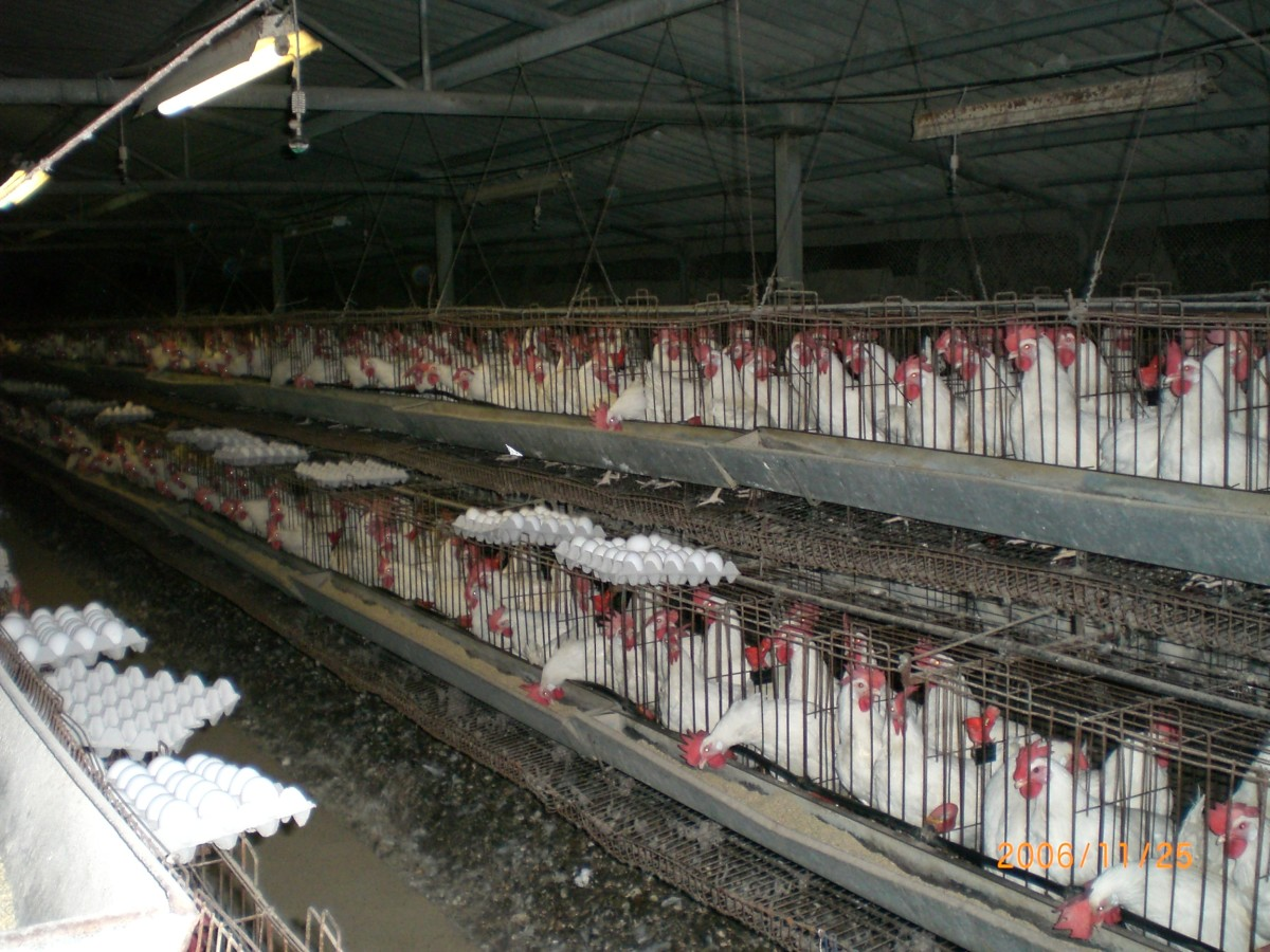 Battery farmed eggs, chickens in an industrial coop.