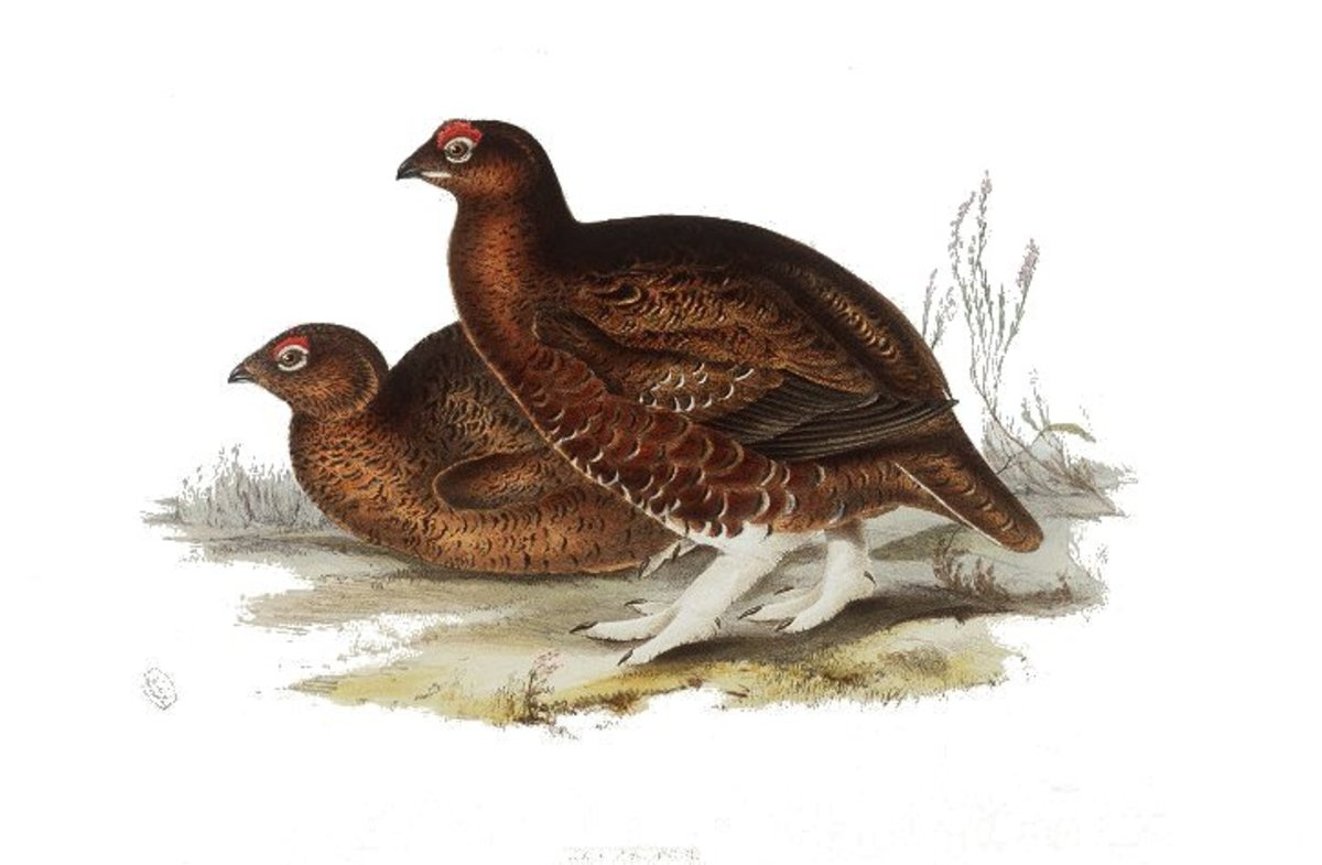 Grouse were commonly eaten at banquets