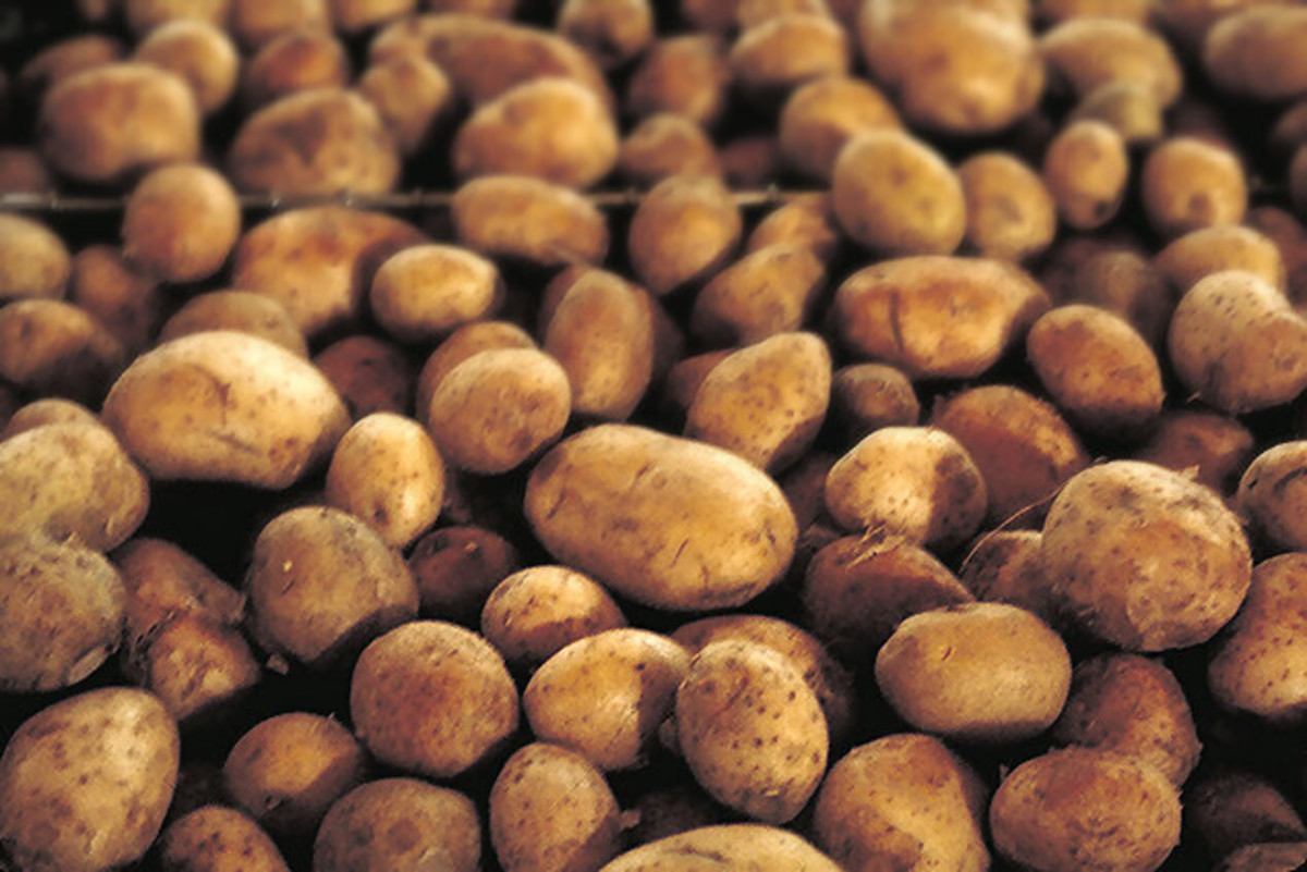 Potatoes became a staple in Scotland during the 16th century.
