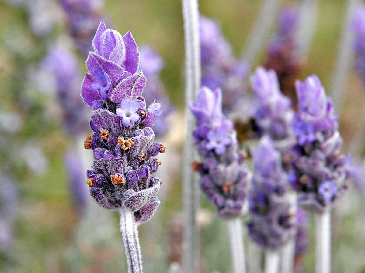 14. Lavender