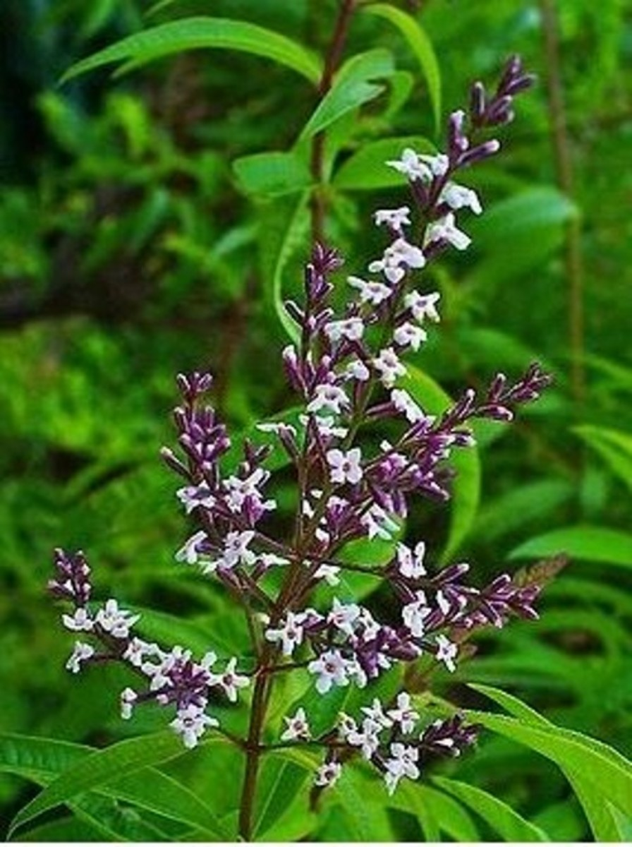 15. Lemon Verbena