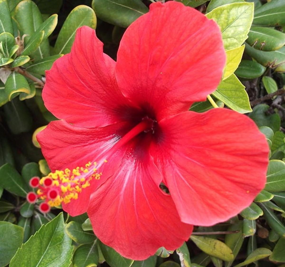 12. Hibiscus