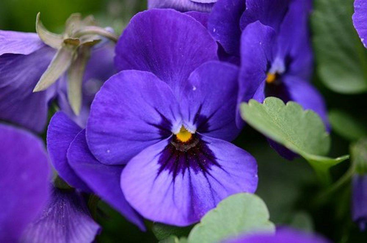 25. Violet