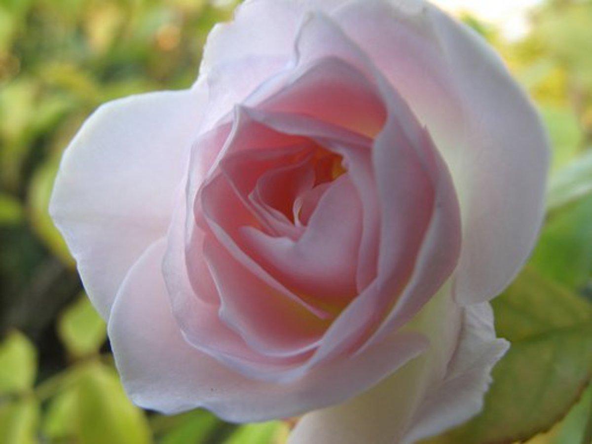 21. Rose