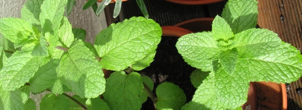 Mint in a pot, mid-spring.
