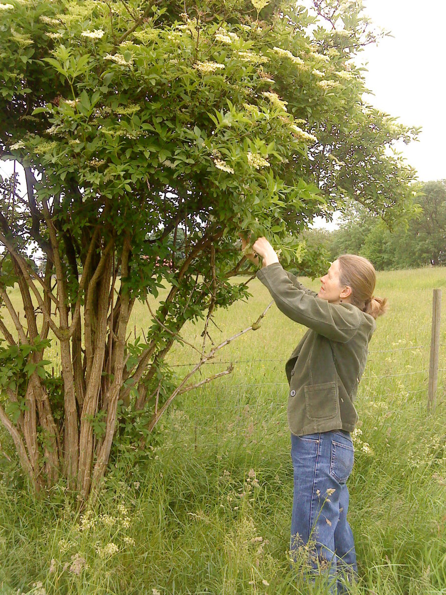 Gathering elderflowers