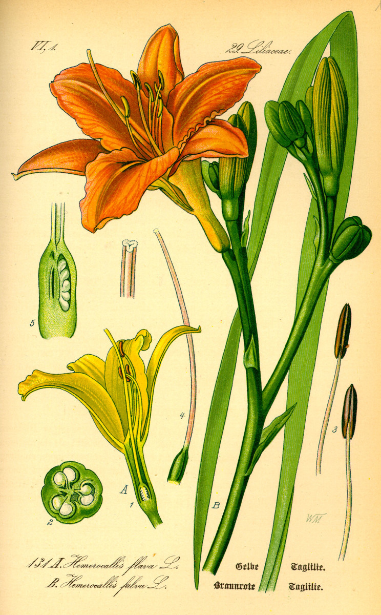 Daylily - Hemerocallis fulva