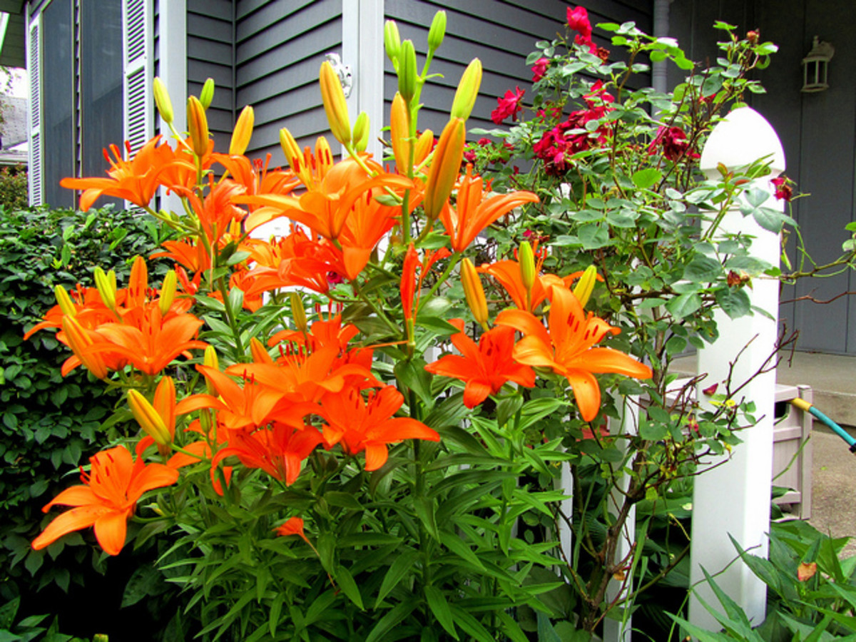 """The lily from the family Liliaceae, commonly called """"Tiger Lily"""". Definitely poisonous."""